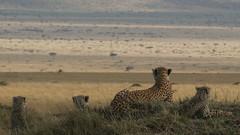 Surveying The Plains (Steve Bulford) Tags: africa light wild cats nature look animal cat cub three kenya african wildlife steve free lookout safari spots mum honey mara cheetah cubs plains mound plain masai mimic termite cheetahs bulford