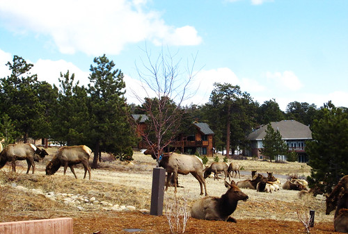 Beauty day 11: elk herd