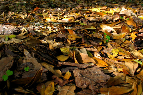 Fallen Oak Leaves Mulch