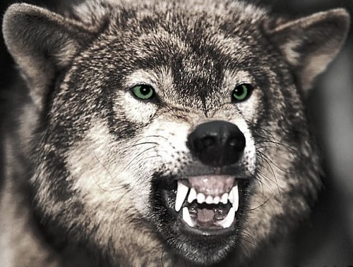 Mount Shasta Wolf Pack - OPEN TO ALL 4436294569_88c46ac5b3