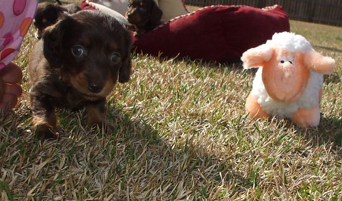 cream long haired dachshund puppies. Long coat haired miniature