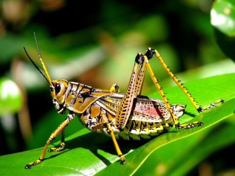 Inago (Grasshopper) - Weird Japanese Food - A Top 10 List of Strange Foods from Japan