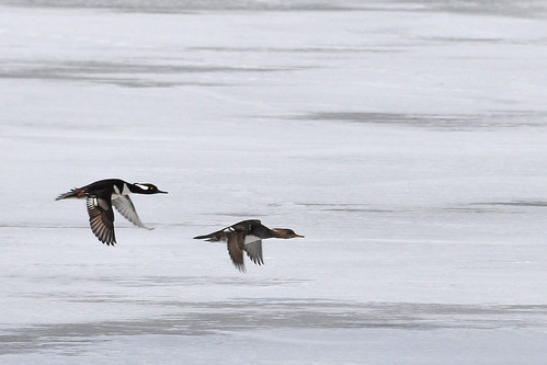Hooded Mergansers on the Wing