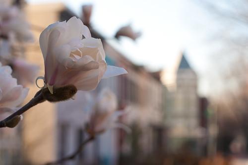 Capitol Hill Blooms