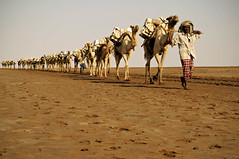 Train of the desert - Danakil depression - Ethiopia (PascalBo) Tags: africa people man work outdoors nikon desert salt camel travail caravan ethiopia sel homme afrique dsert hornofafrica afar eastafrica caravane dromadaire d300 ethiopie lpdesert danakil 123faves lakeassal afarregion cornedelafrique afriquedelest pascalboegli lakeasale dancalie ahmedela lakekarum lacassale lackaroum lpdeserts