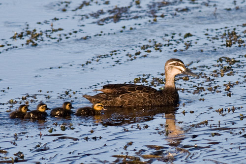 Pacific Black Duck & babies