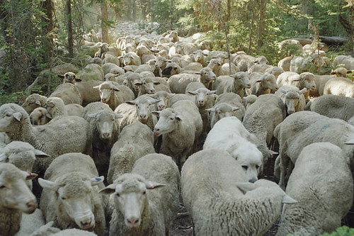 Countless sheep fill most of the time and space of 'Sweetgrass', which is amazingly still not boring.