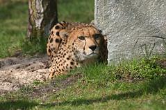 Geparden im Zoo Safaripark Stukenbrock