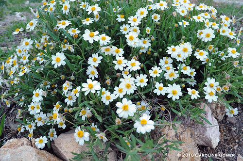Melampodium leucanthum 'Blackfoot Daisy'