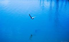 abril (Blanca Belzunce) Tags: blue azul mar agua nikon abril blanca ave pajaro gaviota reflejos 2010 vuelo volar d40 belzunce blancabelzunce