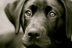 scout w/ canon 100mm macro f/2.8 lens (emilychristinephotog) Tags: blackandwhite dog reflection closeup canon puppy emily mix eyes lab arnold 100mmmacro