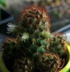 Mam (fab_rice2) Tags: cactus succulent collection seedlings grafting cactii mammilaria astrophytum titanopsis lophophora melocactus stenocactus echinofossulocactus trichocereusperuvianus zacatasensis pereskipsis