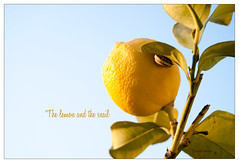 The lemon and the snail (Michele Cannone) Tags: summer tree history nature animal lemon estate snail natura story badge albero lumaca telling limone animali tells storia racconti