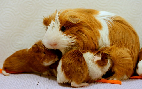Guinea Pig and her newborn babies by caruba