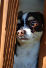 Here's Johnny! (stopkatie) Tags: dog brown white chihuahua cute project puppy fur nose 50mm hilarious eyes nikon funny expression tan personality whiskers chi tricolor stare mister doggy 365 pup eyebrows jacknicholson theshining project365 d80 dailydoseofmister