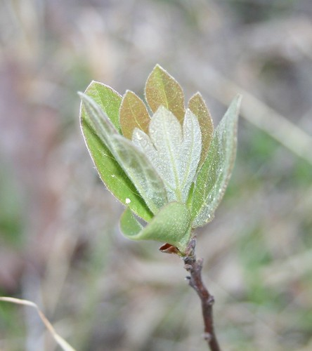 A cluster of six sassafras leaves.  The three outermost are all solid.  Two of the innermost are trefoil, with a largeish central point and two smaller points, one on each side.  The other inner leaf is a mitten shape, but you can't really tell because the photographer got a crappy angle.