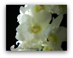 Dendrobium Orchid (♥ Katie ann. Off more than on.) Tags: butterfliesandflowers naturesgallery citrit concordians excellentflowers natureselegantshots photographersgonewild flickrsawesomeblossoms alittlebeauty handselectedphotographs addictedtoflower ourworldinphotos