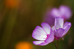 Last Breath of Spring (M.Varga) Tags: california plant flower spring purple awesome blossoms bloom wildflower termszet purpleflower tavasz virg springtime varga otw anawesomeshot colorphotoaward macroflowerlovers artofimages bestcapturesaoi onlythebestofnature