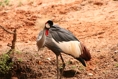 "Crowned crane • <a style=""font-size:0.8em;"" href=""http://www.flickr.com/photos/30765416@N06/4528592317/"" target=""_blank"">View on Flickr</a>"