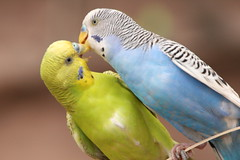 "Parakeet_ in love • <a style=""font-size:0.8em;"" href=""http://www.flickr.com/photos/30765416@N06/4529244324/"" target=""_blank"">View on Flickr</a>"