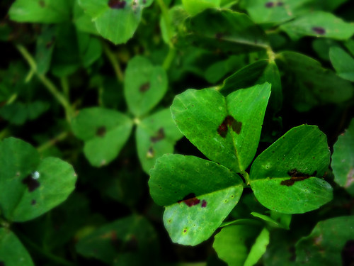 Hearts in clovers