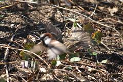 img_100-4476 (Mark Eichin) Tags: cambridge massachusetts feathers sparrow pouncing jillbrownrhonepark