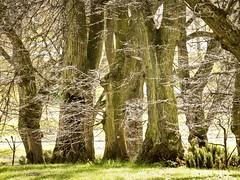 Old trees:) Leny zauek starych drzew :) (raphic :)) Tags: trees green nature grass garden gold poland polska botanic lublin przyroda trawa drzewo ziele drzewa ogrd brunches botaniczny raphic gazie
