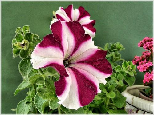 Petunia (algemeen)