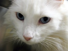 ALFONZ ~ White Blue Eyed Boy Cat, probably Turkish Angora ~ this is NOT Cerulean (Pixel Packing Mama) Tags: lovely1 heartlandhumanesociety pixelpackingmama blueeyedanimalspool dorothydelinaporter montanathecat~fanclub reallyunlimited spcacatspool whitepetsonlypool ceruleanthecat~fanclub whitecatspool reallyunlimitedpool focusontheheadpool whiteanimalspool catcloseupspool catfacespool blueeyedcatspool allcatsallowedpool furryfuncutefunnyanimalspool whitecreaturesphotospainteddrawnpool monochromepetspool watchfor26 50plusphotographersaged50andbetterpool furrificcatspool photosfrom20002010pool favoritedpixfirsthalfof2010set pixuploadedfirsthalfof2010set pixtakeninfirsthalfof2010set picturestakenwithcanonpowershota2000isin2010set catskittensstartingjanuary12010set obsessivephotography30perdaypool pixelpackingmama~prayforkyronhorman photosfrom20102020pool oversixmillionaggregateviews over430000photostreamviews