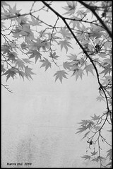 Maples in Dr. Sun Yat Sen Garden - Chinatown Vancouver N1803e (Harris Hui (in search of light)) Tags: china bw white canada black leaves lines vancouver garden town blackwhite nikon chinatown bc shapes sigma richmond textures negativespace immigrants chinesegarden digitalbw revolutionary amateur sunyatsen mapleleaves d300 3dimensional drsunyatsengarden 2dimensional sigma1770mm nikonuser traditionalchinesegarden chinatownvancouver ilovebw sigmazoomlens cmwdblackandwhite nikond300 cmwdweeklywinner graphicalpattern harrishui vancouverdslrshooter maplesindrsunyatsengarden maplesrepresentscanada maplesinbw missionofphotography