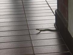 Paradise tree snake @ AS3