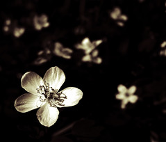 forest flora (Alex Ragnar Photography) Tags: wild bw flower macro forest shadows floor bokeh tiny stamen delicate