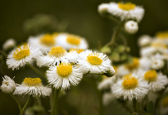 Yellow and White (Mark Tenney) Tags: flowers white yellow spring weeds bokeh nikond50 mywinners platinumphoto naturesgreenpeace natureskingdom