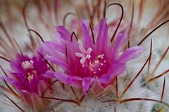 Matthei Botanical Garden (beckstei) Tags: park cactus macro nature annarbor utata bloom botanicalgarden cactusflower matthei