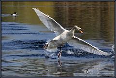Mute Swan (Dodgy Landing) (rparker287) Tags: britishwildlife muteswan canon100400l canon50d swaninflight britshbirds landingswan