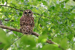 Owl on Sunday Walk