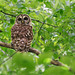 Owl on Sunday Walk