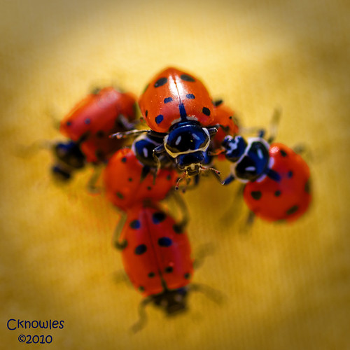 LadyBug King of the hill by The Knowles Gallery