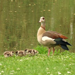 Egyptian Goose with gooslings- Nijlgans met kuikens (3 pictures) (Cajaflez) Tags: bird goose gans kuikens vogel egyptiangoose nijlgans gooselings specanimal anawesomeshot natureselegantshots saariysqualitypictures thebestofmimamorsgroups flickrstruereflection1