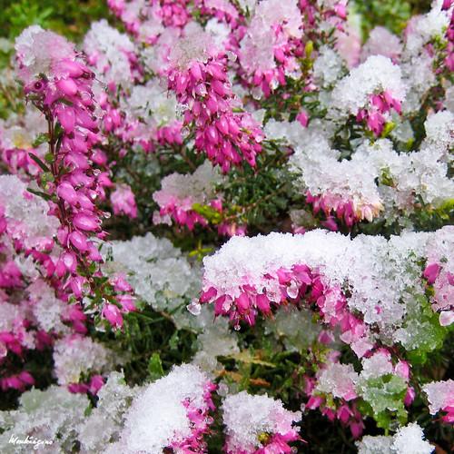Springwood Pink Heaths - Bruyère