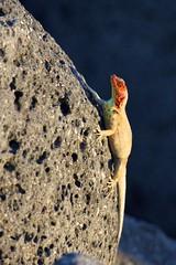 Female Lava Lizard (Tropidurus) Sunning