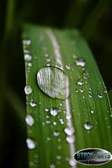 green drop (strok_nine) Tags: macro green leaf wasser drop grn makro blatt schilf tropfen
