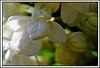 c - 27 avril 2010 Saint-Vallier Les Gautherets Jardin Lilas blanc = White lilac (melina1965) Tags: flowers trees light flower macro tree fleur gardens fleurs garden spring nikon lumière jardin arbres lilac april buds bud bourgogne avril arbre printemps jardins lilacs 2010 lilas smörgåsbord bouton boutons burgondy mybackpack d80 saôneetloire flowerlovers saintvallier photoscape fotoco theclassact lesgautherets sırtçantam superjobs notwithoutmycamera nosinmicámara
