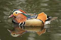 My favourite duck,again ! (claylaner) Tags: reflection water duck mandarin aixgalericulata etherowcountryparkcheshire onlythebestofnature