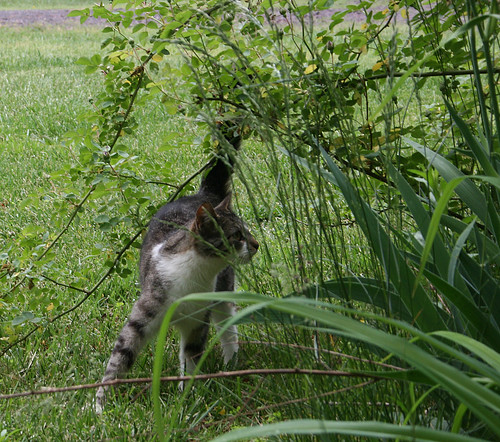Little Tabby Girl pretends to ignore the photographer entirely and be fascinated with some foliage.