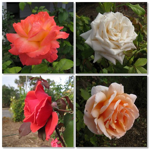 Burrabliss Roses