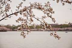 Cherry Blossoms (wenzday01) Tags: travel flowers river washingtondc dc washington spring nikon adobe cherryblossom potomac nikkor potomacriver lightroom tidalbasin natureboy washingtonchannel d90 nikond90 seimeffects 18105mmf3556gedafsvrdx