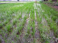 鳳林種稻記2010 川口由一田 隔行除草 2010/5/12