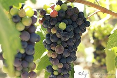 On the vine for wine (Ajit Zadgaonkar) Tags: sanfrancisco california red green fruits beautiful beauty canon wow wine vine valley grapes napavalley napa grape beringer