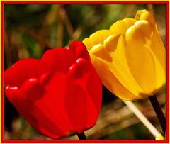 Affection (kajo55) Tags: flowers macro spring tulips framed masterphotos mywinners